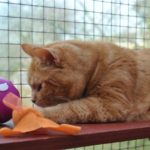 ginger cat Angus plays with a ball at Specialcats
