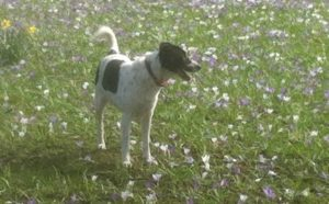mongrel dog in crocuses