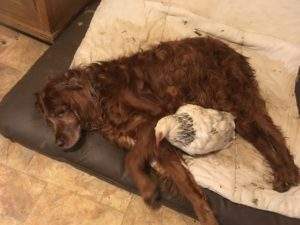 hen lying on dog